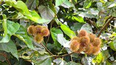Bixa orellana - Blog Multiflora