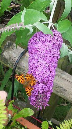 Schmetterlingsflieder,  der Beweis!