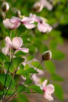A Cottage Garden: Cottage Clematis.. Reaching out... by LightSpectral   Ismanah photography (away) on Flickr..