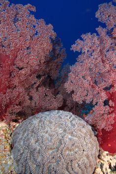 Soft coral and brain coral  (in pinks blues & greys)