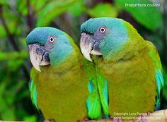Blue-headed Macaw - (Primolius couloni)