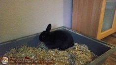 Kaninchenfan Lucky - Mein Kaninchenloch: the tree is gone and Lucky sit in his old position hehe (^_^) i think that they all miss the tree (^_~)   #rabbits #kaninchen #hasen #usagi #lapin #hare #pets #haustiere  kaninchenfanlucky-meinkaninchenloch.blogspot.de/2015/01/the-tree-is-gone-and-lucky-sit-in-his.html