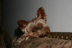 Yorkshire Terrier Diarrhea: Causes, Symptoms and Treatments