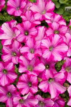 Proven Winners - Supertunia® Raspberry Blast® - Petunia hybrid pink plant details, information and resources. Fall Plants, Garden Plants, Potted Plants, Pink Flowers, Beautiful Flowers, Beautiful Beautiful, Petunia Plant, Growing Raspberries, Annual Flowers