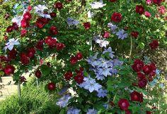 Rose brush vines
