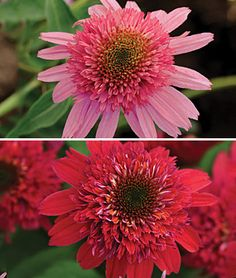 I've never had any luck with Echinacea -- don't know if it's my soil or what -- but these would rock my border.