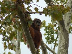 Orangutans build a nest of branches and leaves in a tree each evening and also sometimes during the day. Orangutan Awareness Week is November 10 through November 16. This moment was captured by Camera Club member Kevin Buynie.