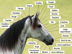 Mangalarga Marchador Conformação Cabeza Anatomía - Morphologie du cheval — Wikipédia