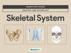 Featured-Skeletal System Anatomy and Physiology Nurse Study Guide Respiratory System Anatomy, Hyaline Cartilage, Axial Skeleton, Facial Bones, Skeletal System, Human Anatomy And Physiology, Endocrine System, Nursing Students, Studio