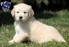 Dallas – Golden Retriever Puppies for Sale in PA | Keystone Puppies