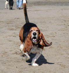 Baby Basset Hounds Running