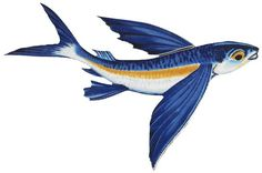 Flying Fish design, future necklace of champions.