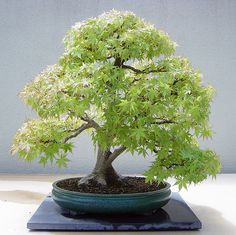 Japanese Maple - Bonsai 3Weyerhaeuser Company's Pacific Rim Bonsai Collection