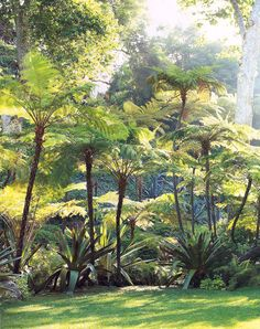 More Fern Trees....can't wait until mine get this big