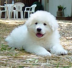 Hungarian Kuvasz puppy - You can't resist wanting to cuddle with all that fluffy fur!