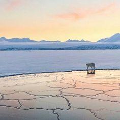 #北極 #North_Pole #極晝 #Midnight_sun 期,橙色的陽光照耀著冰川,一隻 #北極熊 #Polar_Bear 在冰面上漫步。「極晝」是指在地球的北極和南極地區,一天24小時太陽始終處於地平線以上的自然現象。每年春分至秋分是北極圈的極晝期,極晝覆蓋範圍在夏至日達到最大。攝影師:Josh Anon