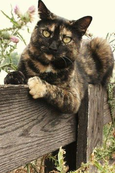 """Bengal Cat Facts """"Tortitude"""" - The Unique Personality Of Tortoiseshell Cats: Fact Or Fiction? Cute Cats And Kittens, I Love Cats, Crazy Cats, Cool Cats, Kittens Cutest, Ragdoll Kittens, Tabby Cats, Bengal Cats, Pretty Cats"""
