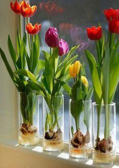 Indoor Vegetable Gardening PRICE SALE 10 Prechilled Tulip Bulbs 'Darwin by botanicalart Indoor Water Garden, Indoor Vegetable Gardening, Container Gardening, Indoor Plants, Gardening Hacks, Organic Gardening, Hydroponic Gardening, Indoor Flowers, Small Water Gardens