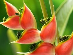 Heliconia. Tattoo