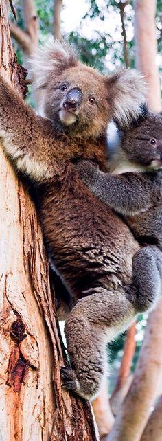 Koalas - Kangaroo Island - South Australia #australia