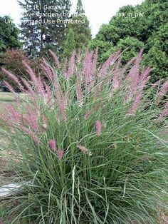 Oriental Fountain Grass 'Karley Rose'    Another option to go with for fountain grass. Would work with the purple fountain grass and the pink muhly.