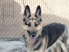 SAFE❤️❤️ 6/2/17 Brooklyn Center PRINCESS – A1113006 **NEW HOPE ONLY** SPAYED FEMALE, BROWN / BLACK, GERM SHEPHERD MIX, 3 yrs OWNER SUR – ONHOLDAVAI, HOLD RELEASED Reason MOVE2PRIVA Intake condition UNSPECIFIE Intake Date 05/24/2017, From NY 10453, DueOut Date 05/24/2017,
