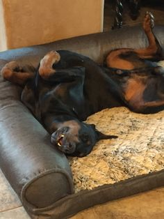 The Doberman Pinscher is among the most popular breed of dogs in the world. Known for its intelligence and loyalty, the Pinscher is both a police- favorite Doberman Pinscher Puppy, Rottweiler Dog, I Love Dogs, Cute Dogs, Dog Food Online, Pet Camera, Doberman Love, Dog Care Tips, Best Dogs