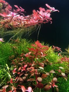 Follow   Filipe Oliveira ‏@FaaoAquascaping The Ludwigia sp. Mini Super Red looks amazing on the Bonsai TreeScape! @aquaflora_nl