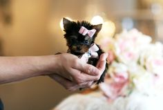 teacup yorkshire terrier puppies...need!!!