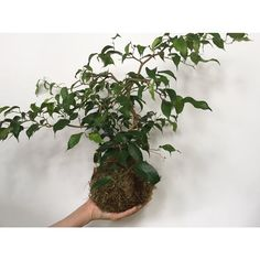 fabulous vancouver florist Oh hello ficus wiandi #ficus #ficuswiandi #kokedama #handsaregoodforholding #wabisabi #forageandbloom by @forage_and_bloom  #vancouverflorist #vancouverflorist #vancouverwedding #vancouverweddingdosanddonts