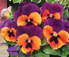 Pansy-I love this color combination magenta and orange is another stunning combo.