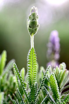 French Lavender bud (Lavandula dentata)