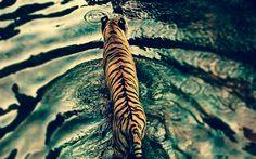 Download imagens tigre, vista de cima, lago, predador, a vida selvagem, tigres