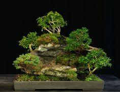 Bonsai Tree 5 Tree Lace Rock Planting Multiple Varieties Outdoor LR5TMV-111 #bonsaitree