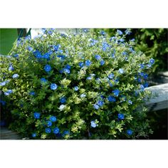 Find 140mm Evolvulus Blue Daze at Bunnings Warehouse. Visit your local store for the widest range of garden products.
