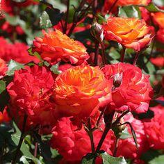 A vibrant gold,orange, and red-toned floribunda rose that blooms over a long summer season.