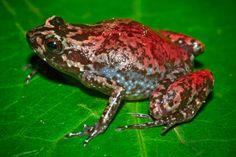 New species in the Stumpffia genus. Photo by: Gonçalo M. Rosa.