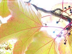 wine leafs in the back light  Weinblätter im Gegenlicht