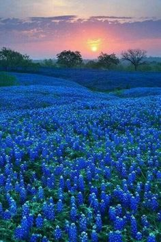 Blue bonnets in Texas...beautiful
