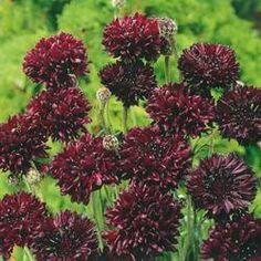 Centaurea cyanus 'Black Ball'