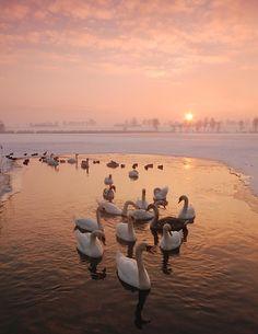 - - Swans -