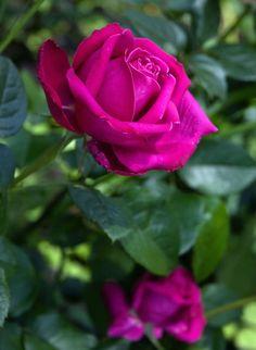 'Senteur Royale' | Hybrid Tea Rose.  Tantau  2004 | @ Oliver