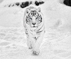 White Tiger <3