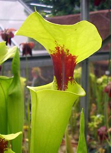 """Sarracenia Flava v. Rugellii """"Giant Robust Clone, MKF18"""" carnivorous plant.  Due to customs and CITES regulations, bids from within the European Union only please."""