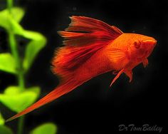 A fabulous Male Hi-Fin Red Swordtail. To see more click on ... http://www.AquariumFish.net/catalog_pages/livebearer_swords/swordtail_table.htm#swordtails