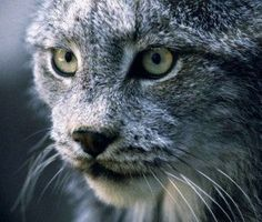 HELP PROTECT Wildlife from Cruel Traps! Following the loss of federal protections for gray wolves in the northern Rockies and a great rise in the price of bobcat hides, the state of Idaho has issued an increasing number of trapping licenses. Tell Idaho Fish and Game Commission to rein in its trapping program to protect rare and threatened wildlife! PLZ Sign and Share!