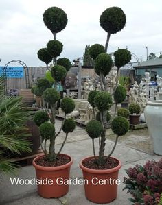 Extra Large Conifer Cloud Pom Topiary Plant Woodside Garden Centre Pots To Inspire
