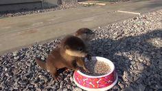 Baby otters get breakfast #Cute