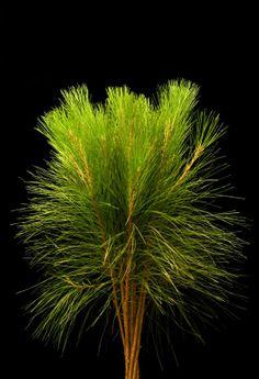 Aussie pine tails