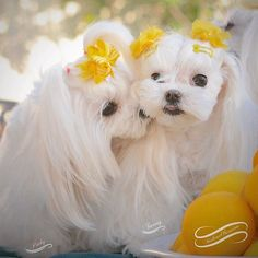 Keep Kissing your Sweetie! -- even if Valentines is over ❤️ Make EVERYDAY a VALENTINES DAY #Tweety #Pinky #Maltese #malteseobsession #kiss #kisses #koreanmaltese #KoreanPrincess #Princess #LemonYellow